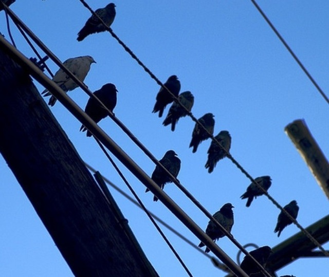 How can bird's feet stay on electrical wires?